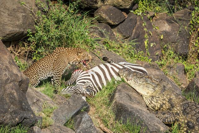 Leopardattacke und Attacke des Krokodils   Einkurzes Fauchen des Leoparden hält das Krokodil von weiteren Fressversuchen zunächst ab.