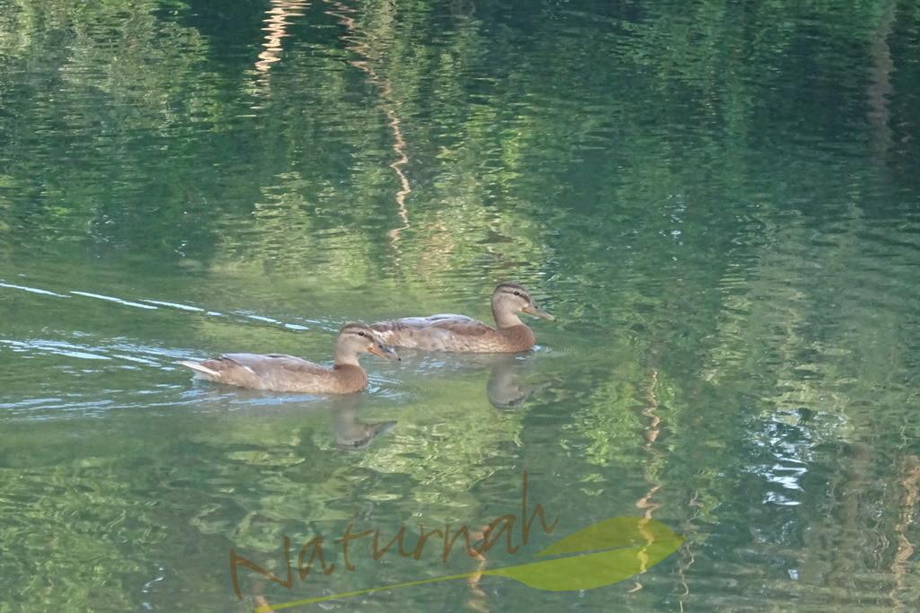 Reise in die andere Welt | Zwei Enten schwimmen hinein in die gespiegelte Welt, die voller Zauber ist.