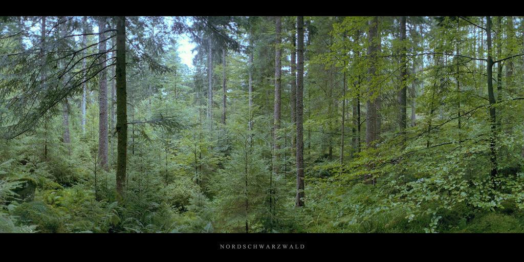 Nordschwarzwald   Wald mit Fichten, Buchen und Tannen im Norden vom Mittelgebirge Schwarzwald