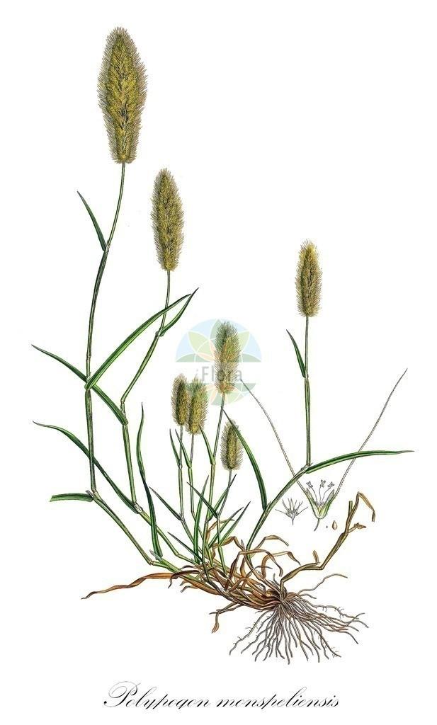 Historical drawing of Polypogon monspeliensis   Historical drawing of Polypogon monspeliensis showing leaf, flower, fruit, seed