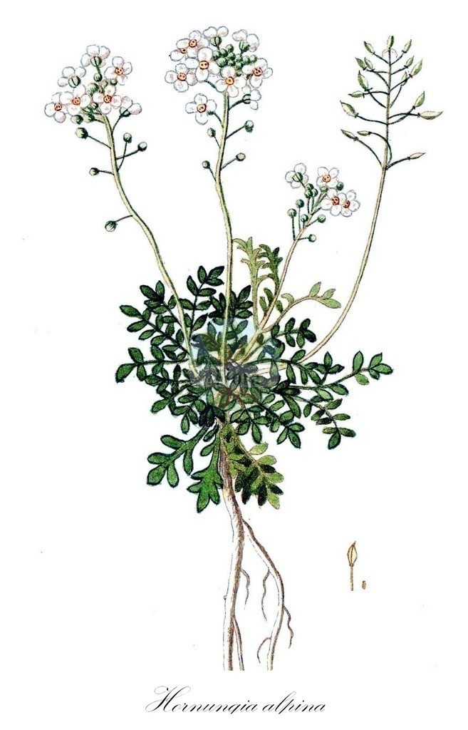 Historical drawing of Hornungia alpina (Chamois Cress)   Historical drawing of Hornungia alpina (Chamois Cress) showing leaf, flower, fruit, seed