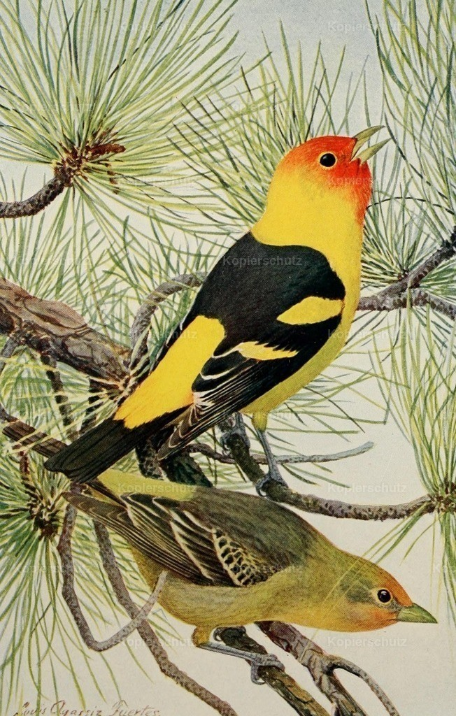 Fuertes_ L.A. (1874-1927) - Birds of the Rockies 1902 - Louisiana Tanager