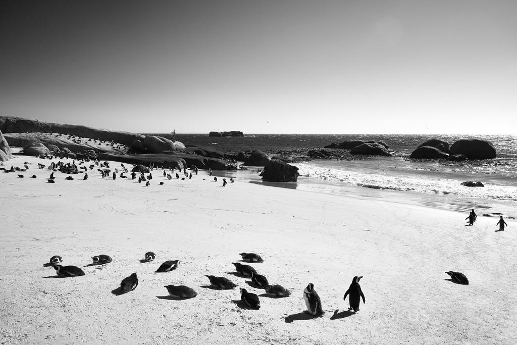 Pinguinkolonie am Boulder's Beach | Am Boulder's Beach in Simon's Town lässt sich das geschäftige Treiben in der Pinguinkolonie beobachten.