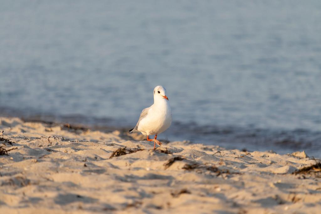 Möwe am Sandstrand | Möwe spaziert am Strand