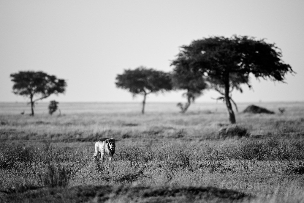 Löwe im Grasland | Ein Löwenmännchen durchstreift sein Revier in der Serengeti.