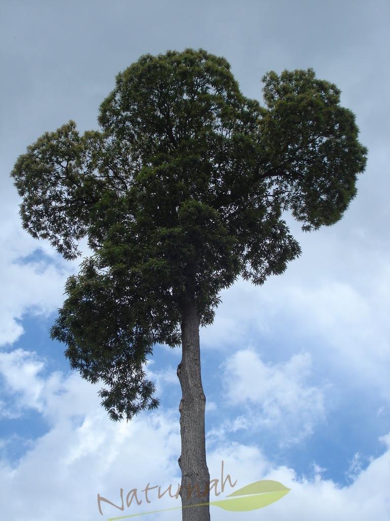 Klosterbaum mit Hoffnungsblau