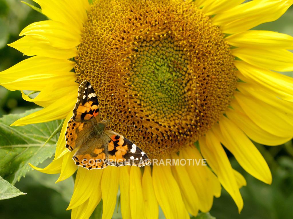 20090711-IMG_4333   blühende Sonnenblumen im Sommer - AGRARMOTIVE Bilder aus der Landwirtschaft