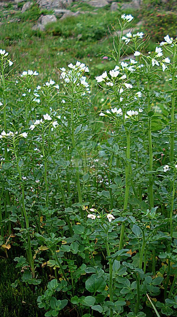 Cardamine amara (Bitteres Schaumkraut - Large Bitter-cress) | Foto von Cardamine amara (Bitteres Schaumkraut - Large Bitter-cress). Das Bild zeigt Blatt und Bluete. Das Foto wurde in Kleinwalsertal, Mittelberg, Vorarlberg, Österreich, Alpen aufgenommen. ---- Photo of Cardamine amara (Bitteres Schaumkraut - Large Bitter-cress).The image is showing leaf and flower.The picture was taken in Kleinwalsertal, Mittelberg, Vorarlberg, Austria, Alps.