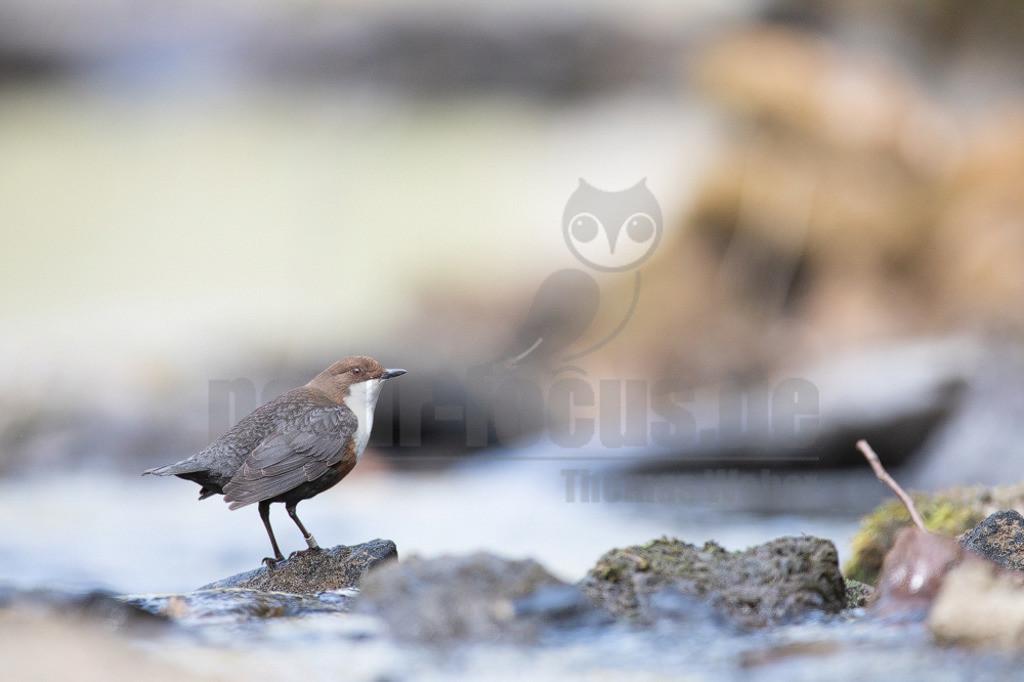 20200612-663A0003 (14) | Die Wasseramsel oder Eurasische Wasseramsel ist die einzige auch in Mitteleuropa vorkommende Vertreterin der Familie der Wasseramseln. Der etwa starengroße, rundlich wirkende Singvogel ist eng an das Leben entlang schnellfließender, klarer Gewässer gebunden.