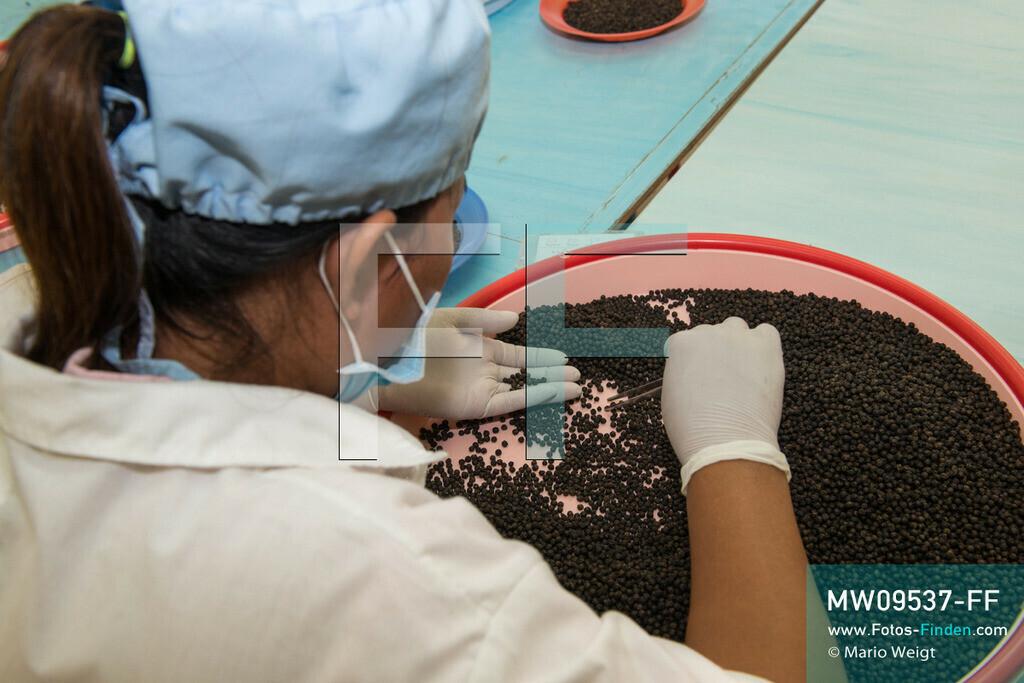 MW09537-FF | Kambodscha | Kampot | Reportage: Pfeffer aus Kampot | Mitarbeiterin sortiert schwarzen Pfeffer bei Farm Link Ltd. in der Stadt Kampot. In der Umgebung von Kampot und Kep gibt es zahlreiche Pfefferplantagen.   ** Feindaten bitte anfragen bei Mario Weigt Photography, info@asia-stories.com **