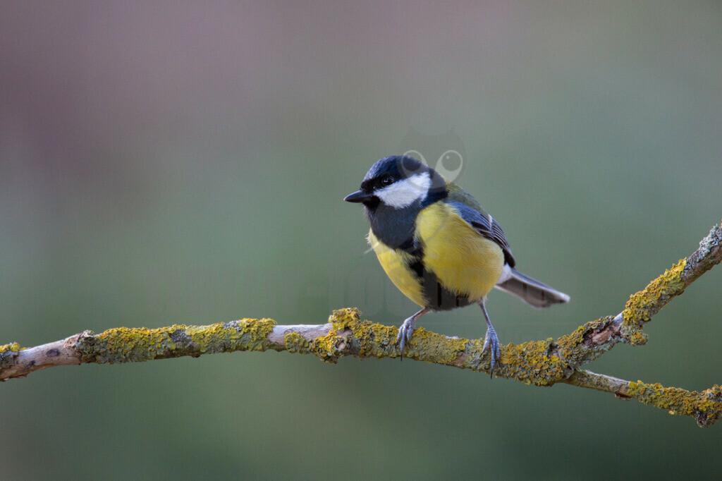 20140217_164455  | Die Kohlmeise ist eine Vogelart aus der Familie der Meisen. Sie ist die größte und am weitesten verbreitete Meisenart in Europa. Ihr Verbreitungsgebiet erstreckt sich jedoch bis in den Nahen Osten und durch die gemäßigte Zone Asiens bis nach Fernost.