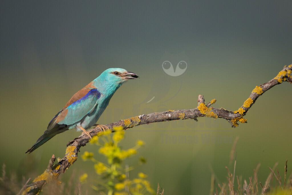 20140523_173943-2 Kopie | Die Blauracke ist ein etwa hähergroßer Vertreter der Racken. Im deutschen Sprachraum wird die Art auch Mandelkrähe genannt. Der mit türkisfarbenen und azurblauen Gefiederbereichen sehr auffallend gefärbte Vogel ist in Europa der einzige Vertreter dieser Familie.