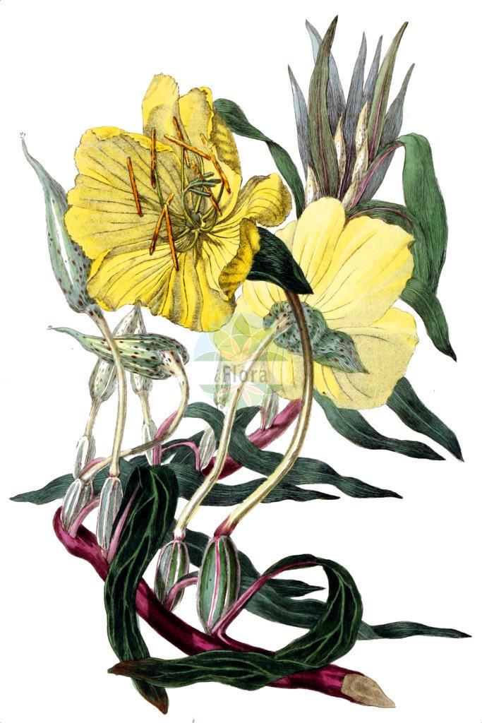 Oenothera missouriensis | Historische Abbildung von Oenothera missouriensis. Das Bild zeigt Blatt, Bluete, Frucht und Same. ---- Historical Drawing of Oenothera missouriensis.The image is showing leaf, flower, fruit and seed.