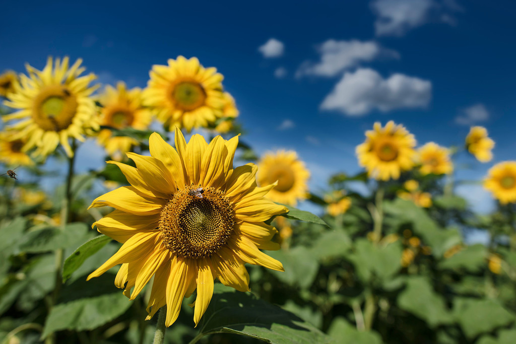 Sonnenblumen | Sonnenblumen im Sonnenblumenfeld vor blauem Himmel mit weißen Wölkchen