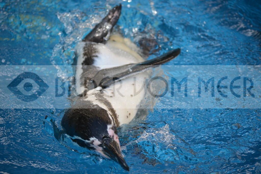 Fotoausstellung Meer Bilder | Pinguine Bilder: bei spielen im Wasser