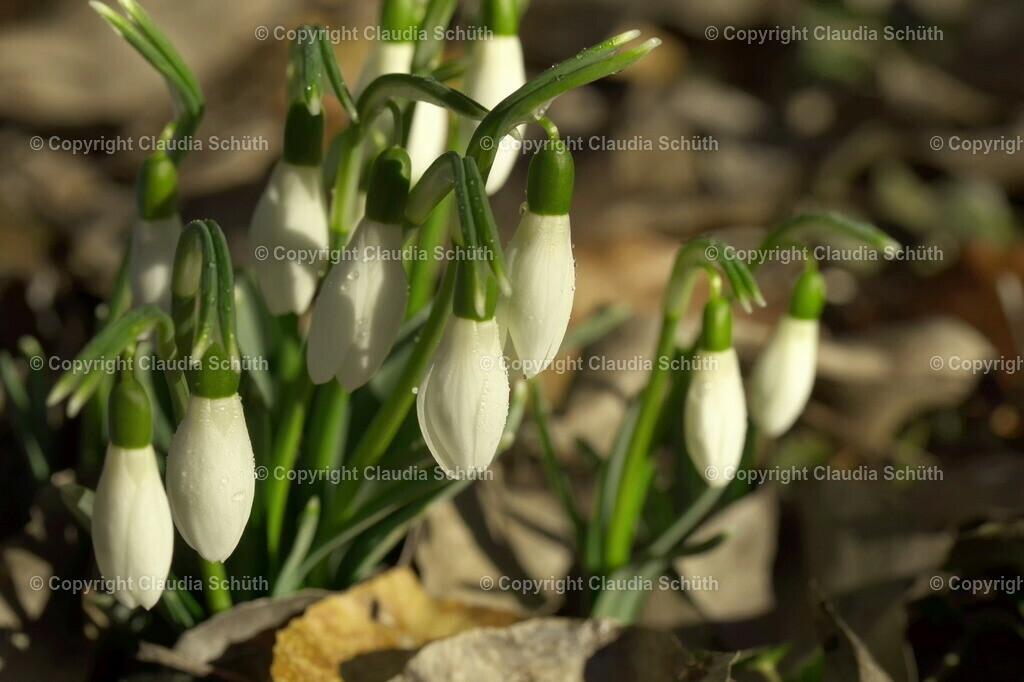 Schneeglöckchen Galanthus | Eine Gruppe Schneeglöckchen in natürlichem Umfeld.