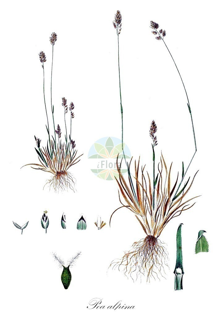 Historical drawing of Poa alpina (Alpine Meadow-grass) | Historical drawing of Poa alpina (Alpine Meadow-grass) showing leaf, flower, fruit, seed