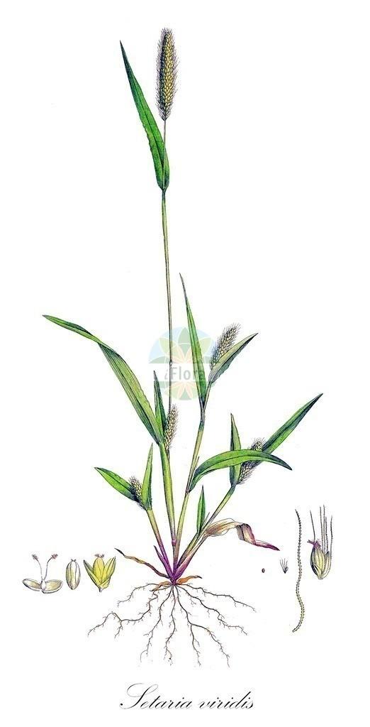 Historical drawing of Setaria viridis (Green Bristle-grass) | Historical drawing of Setaria viridis (Green Bristle-grass) showing leaf, flower, fruit, seed