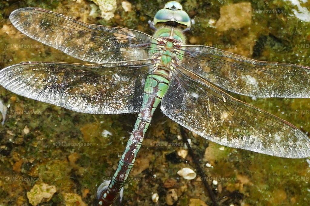 P1010542 | Libelle bei der Eiablage