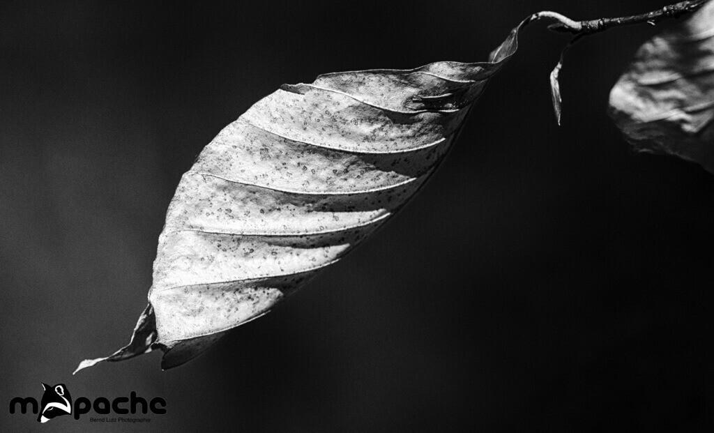 Leaf | Dry leaf against blue sky