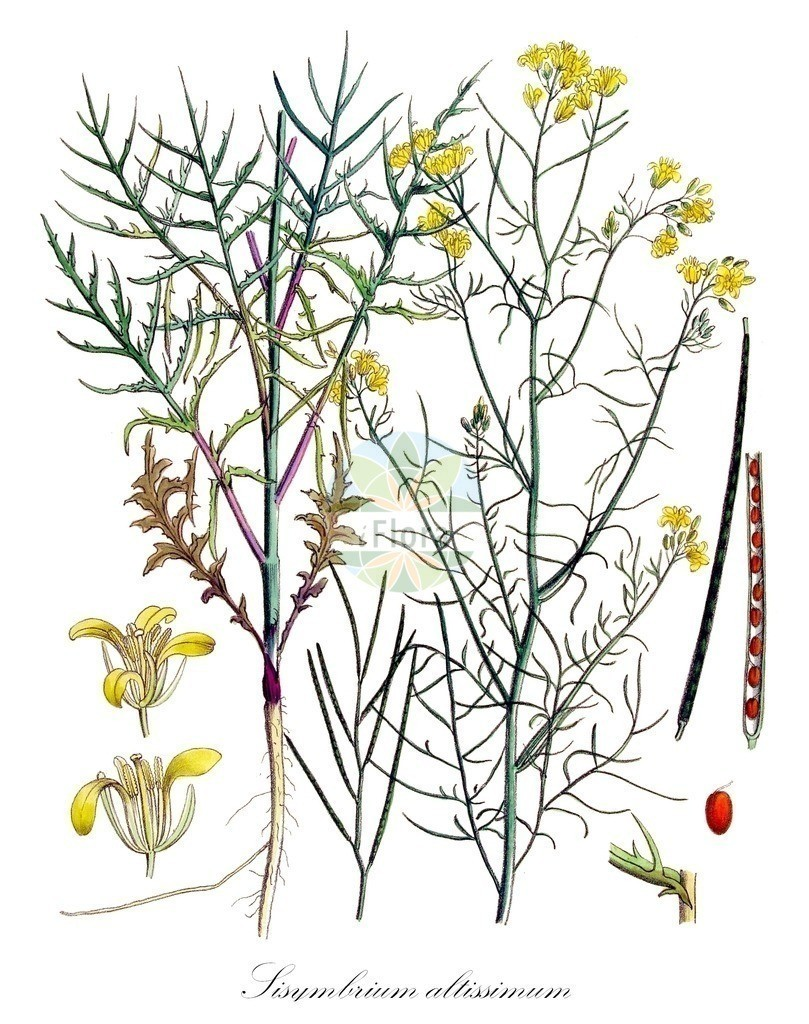 Historical drawing of Sisymbrium altissimum (Tall Rocket) | Historical drawing of Sisymbrium altissimum (Tall Rocket) showing leaf, flower, fruit, seed