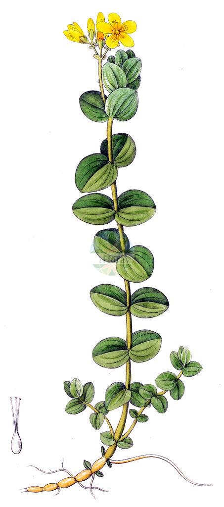 Hypericum elodes (Sumpf-Johanniskraut - Marsh St John's-wo   Historische Abbildung von Hypericum elodes (Sumpf-Johanniskraut - Marsh St John's-wort). Das Bild zeigt Blatt, Bluete, Frucht und Same. ---- Historical Drawing of Hypericum elodes (Sumpf-Johanniskraut - Marsh St John's-wort).The image is showing leaf, flower, fruit an