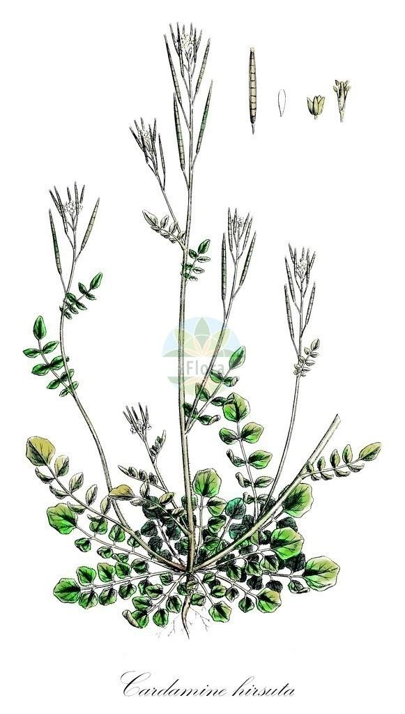 Historical drawing of Cardamine hirsuta (Hairy Bitter-cress)   Historical drawing of Cardamine hirsuta (Hairy Bitter-cress) showing leaf, flower, fruit, seed