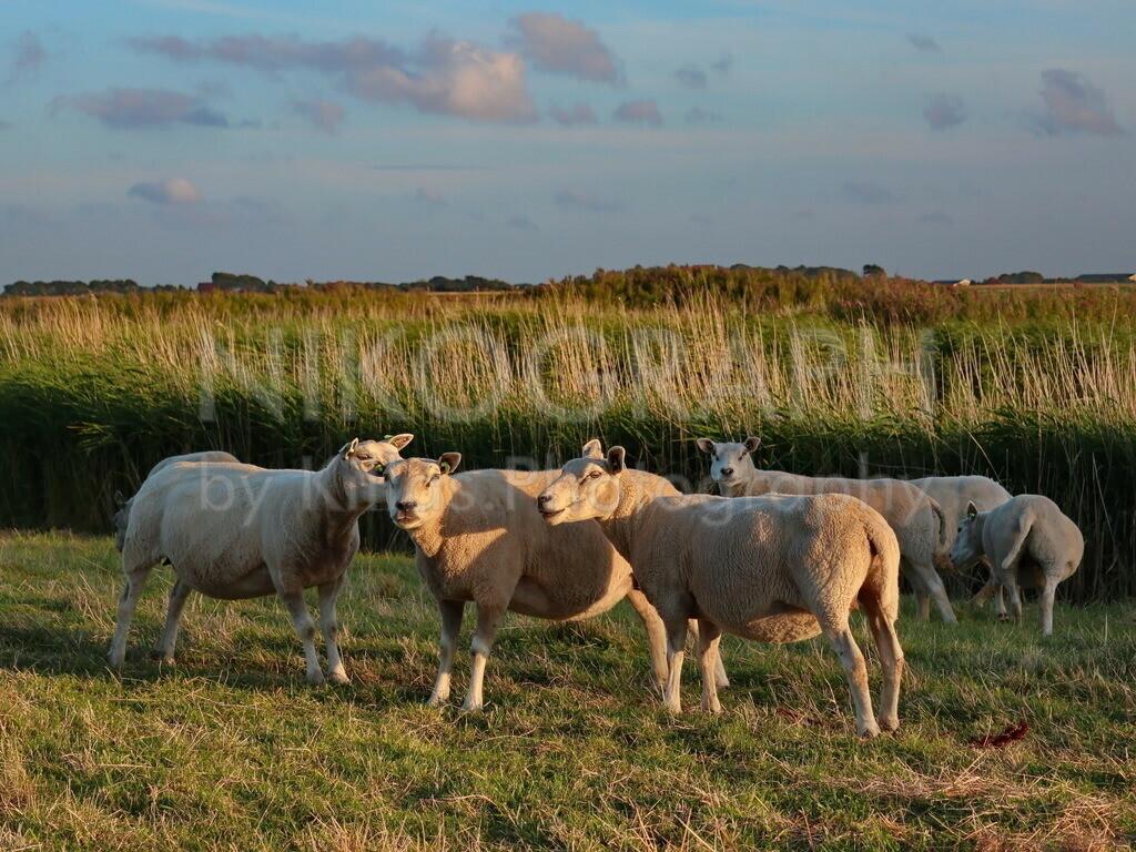 Texelschafe auf einer Weide | Die Schafe dürften die einwohnerstärkste Population von Texel darstellen. Nahezu auf jedem Deich, jeder Wiese und Weide sind die Schafe anzutreffen. Die Schafzucht gehört zu den traditionellen Wirtschaftszweigen auf Texel. Es gibt dort in den verschiedenen Läden und Boutiquen nahezu alle Produkte, die man aus Schafen herstellen kann. Angefangen von Wollsocken, Wollpullovern, Handcreme und vieles mehr. Das Lammknuddeln, welches viele Schafzüchter anbieten ist besonders bei Kindern sehr beliebt.