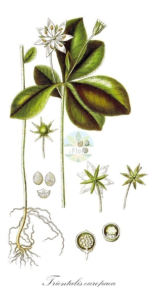 Historical drawing of Trientalis europaea (Chickweed-wintergreen) | Historical drawing of Trientalis europaea (Chickweed-wintergreen) showing leaf, flower, fruit, seed