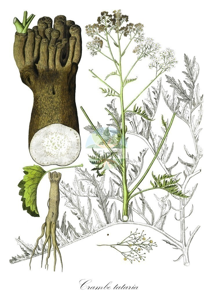 Historical drawing of Crambe tataria (Sea-kale) | Historical drawing of Crambe tataria (Sea-kale) showing leaf, flower, fruit, seed