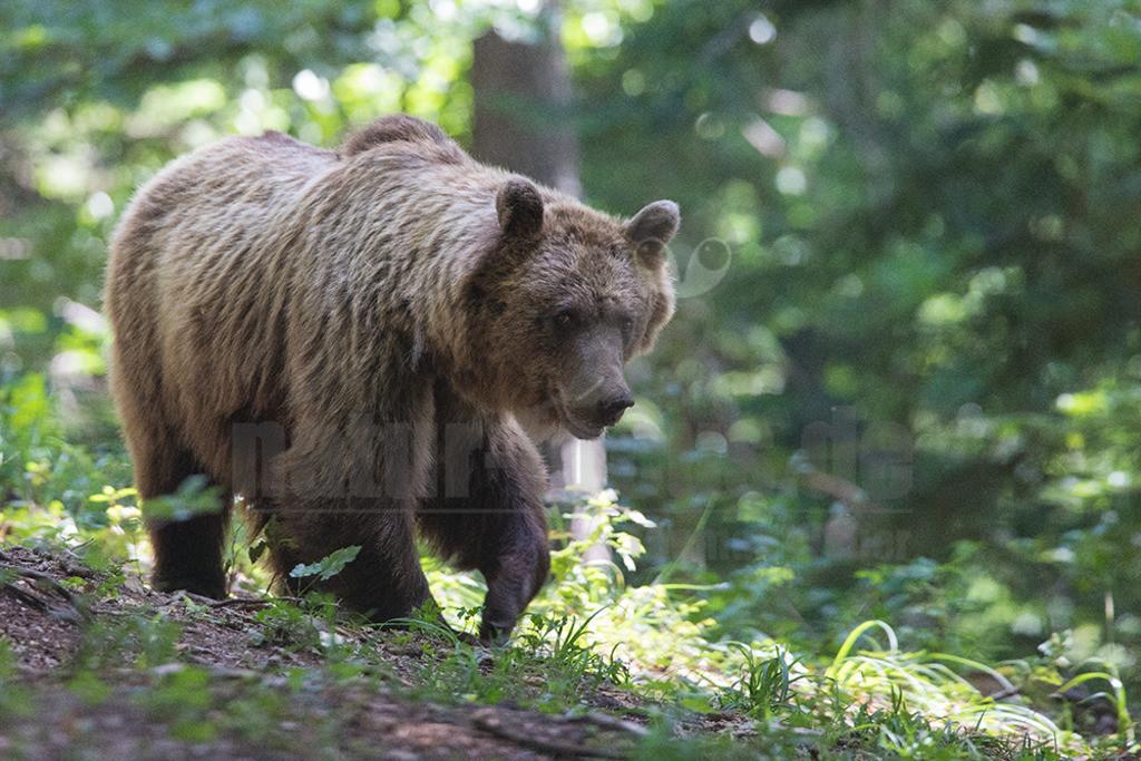 663A0877 | Der Braunbär gehört zu den Säugetieren aus der Familie der Bären. In Eurasien und Nordamerika kommt er in mehreren Unterarten vor, darunter Europäischer Braunbär, Grizzlybär und Kodiakbär. Als eines der größten an Land lebenden Raubtiere der Erde spielt er in zahlreichen Mythen und Sagen eine wichtige Rolle.