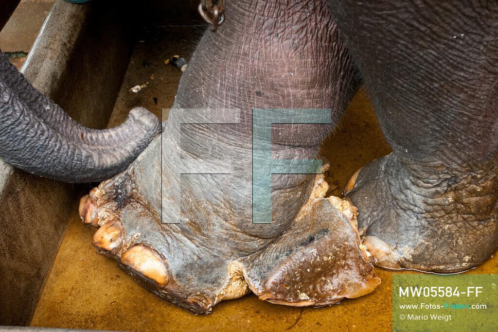 MW05584-FF   Thailand   Lampang   Reportage: Krankenhaus für Elefanten   In der Krankenstation erhält Elefant Boonmee ein Fußbad. Er ist nahe der burmesischen Grenze auf eine Landmine getreten.   ** Feindaten bitte anfragen bei Mario Weigt Photography, info@asia-stories.com **