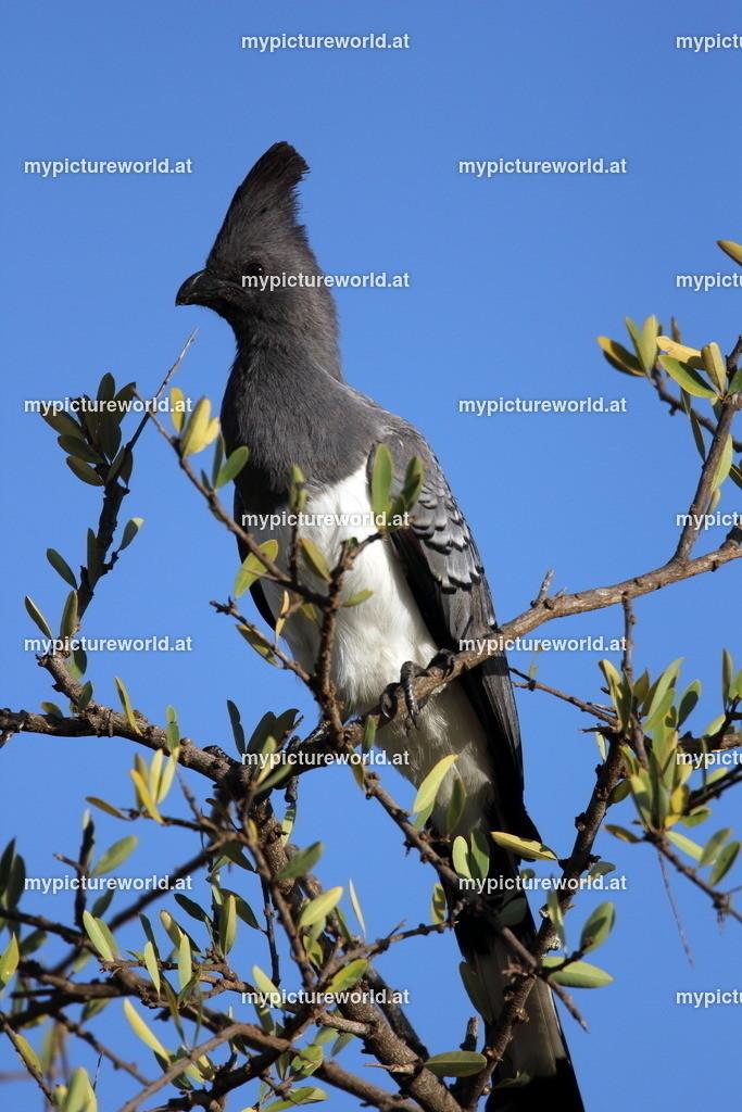 Weißbauch-Lärmvogel-005