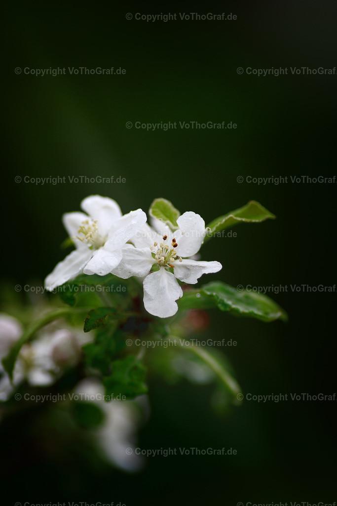 2021-05-13-016   Apfel in spe