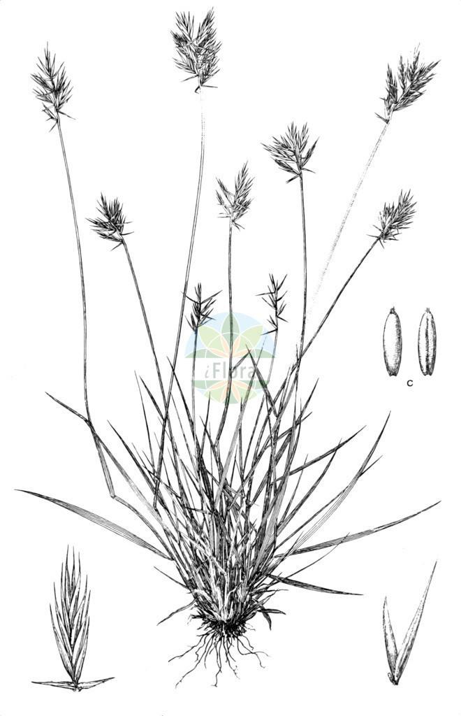 Agropyron cristatum subsp. pectinatum   Historische Abbildung von Agropyron cristatum subsp. pectinatum. Das Bild zeigt Blatt, Bluete, Frucht und Same. ---- Historical Drawing of Agropyron cristatum subsp. pectinatum.The image is showing leaf, flower, fruit and seed.