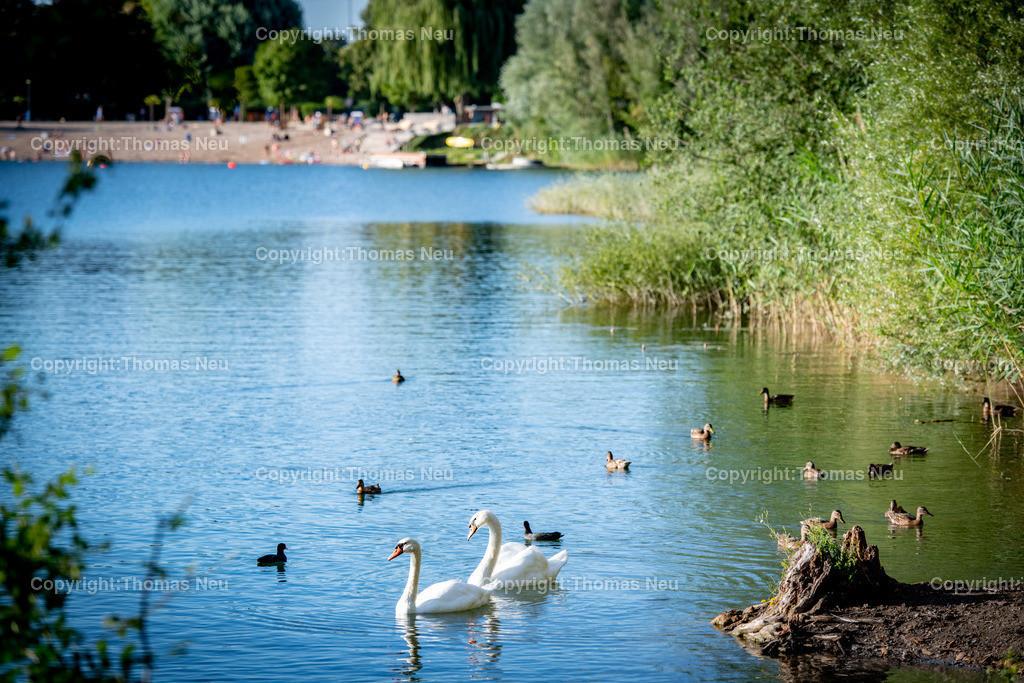 DSC_3392   Bensheim, Badesee, Impressionen vom Südufer des See aus fotografiert an den nördlichen Badestrand, ,Schwäne, Enten, , Bild: Thomas Neu