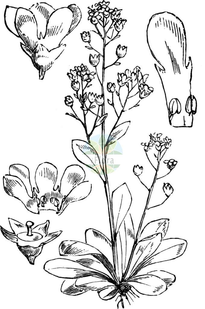 Samolus valerandi (Salz-Bunge - Brookweed)   Historische Abbildung von Samolus valerandi (Salz-Bunge - Brookweed). Das Bild zeigt Blatt, Bluete, Frucht und Same. ---- Historical Drawing of Samolus valerandi (Salz-Bunge - Brookweed).The image is showing leaf, flower, fruit and seed.