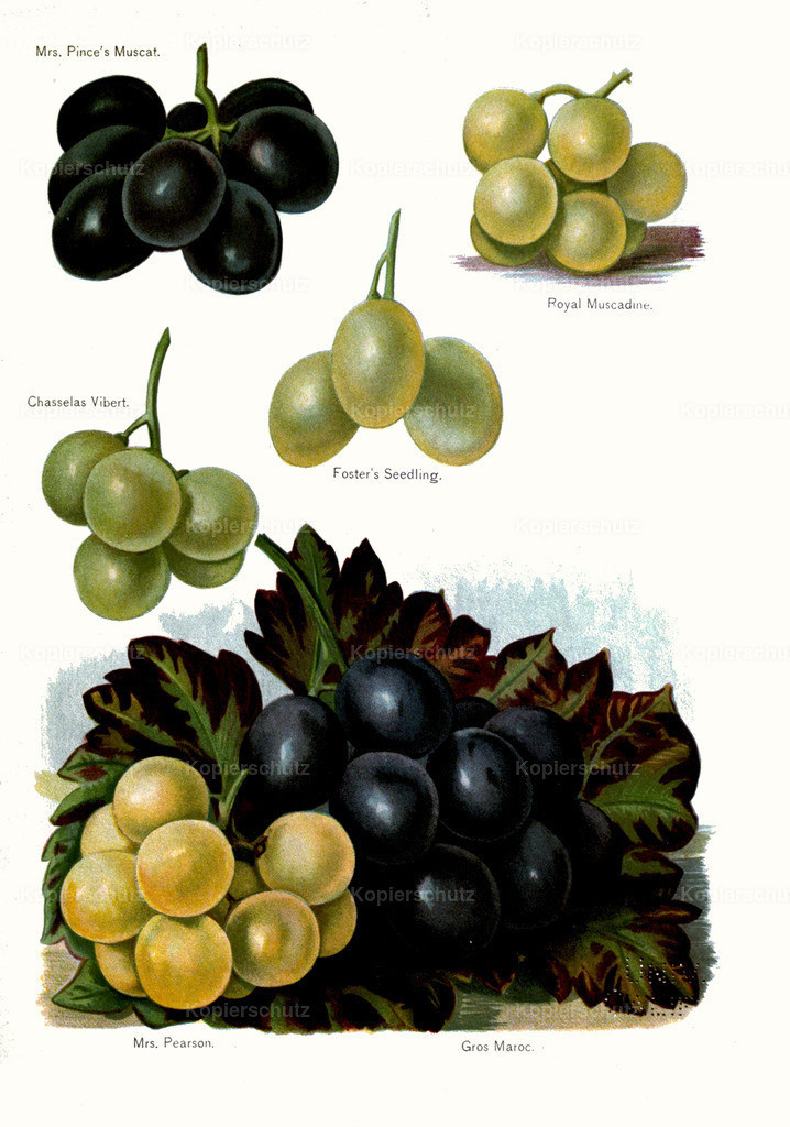 Fruit-Growers-Guide-1890-May-Rivers-Obst-Früchte (19)