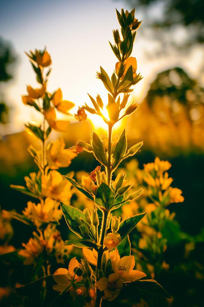 Blüten im Sonnenuntergang | Blüten im Gegenlicht bei Sonnenuntergang.