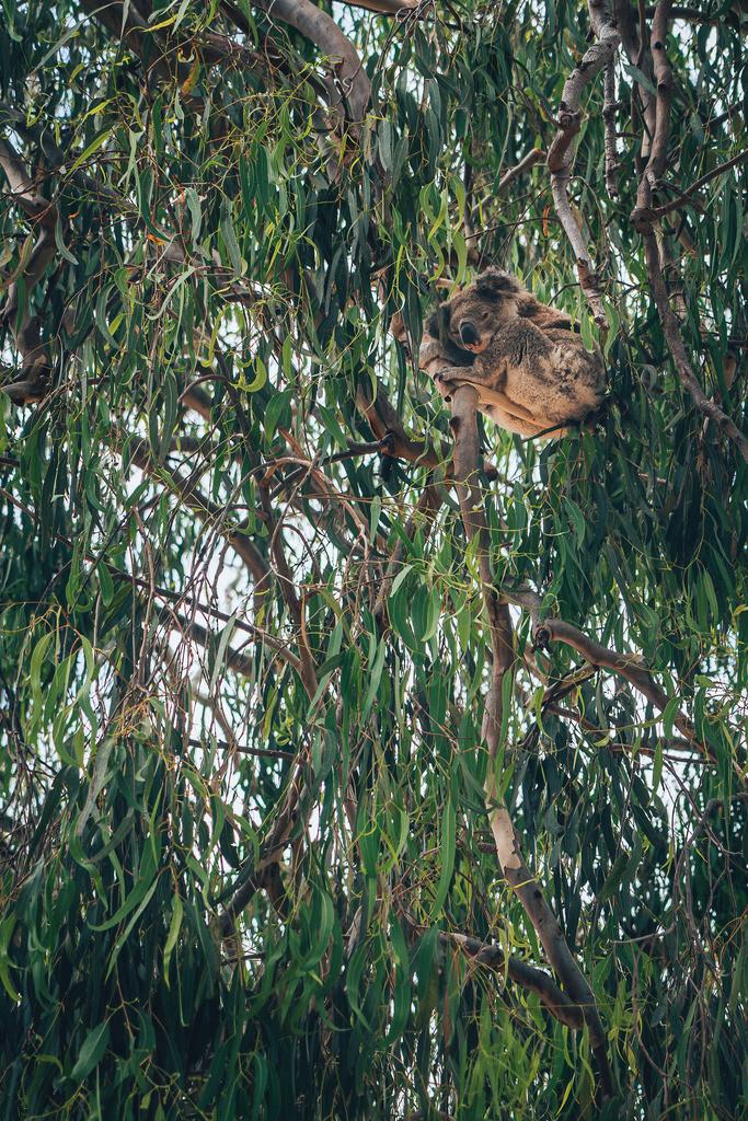 Koala | Koala im Baum