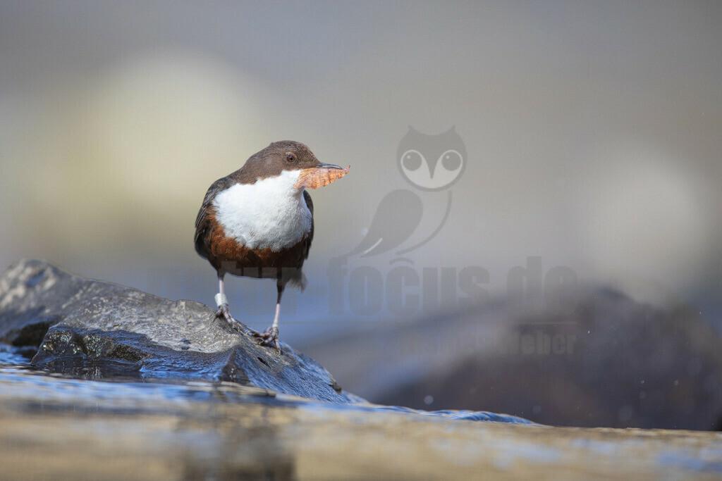 20200612-663A0003 (4) | Die Wasseramsel oder Eurasische Wasseramsel ist die einzige auch in Mitteleuropa vorkommende Vertreterin der Familie der Wasseramseln. Der etwa starengroße, rundlich wirkende Singvogel ist eng an das Leben entlang schnellfließender, klarer Gewässer gebunden.