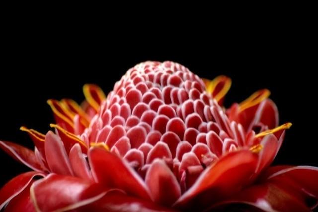 Etlingeria elator | torch ginger, etlingeria elator