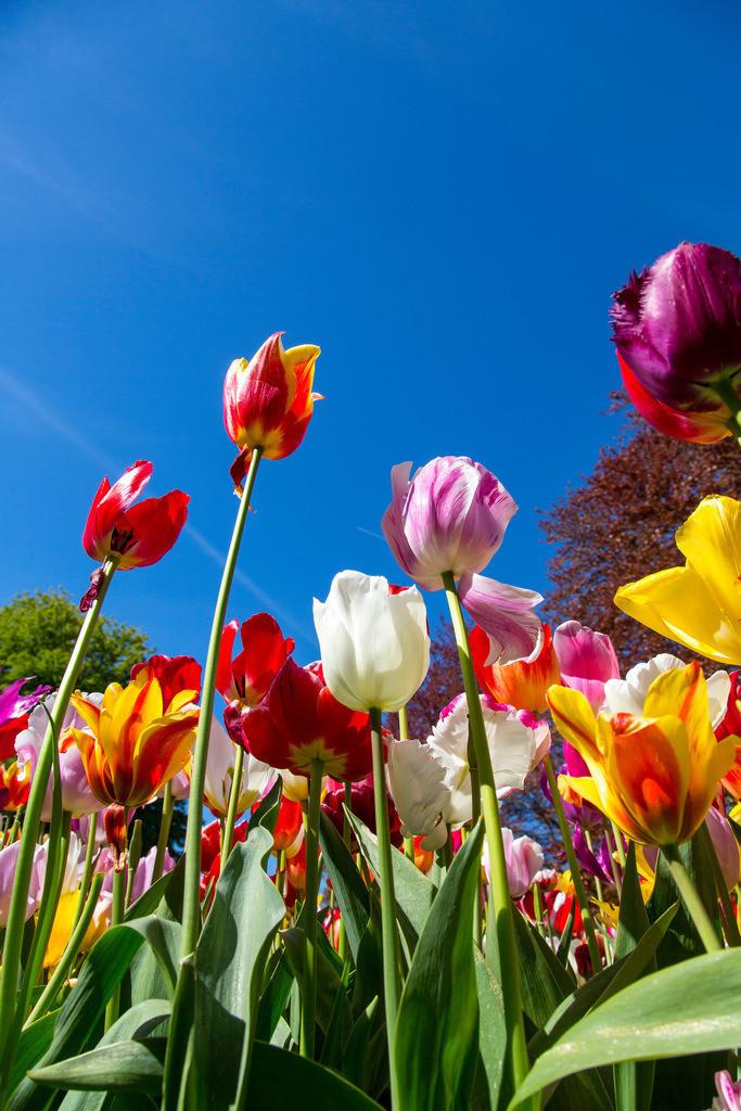 JT-160803-155 | viele Tulpen, Tulpenfeld, Tulpenbeet,