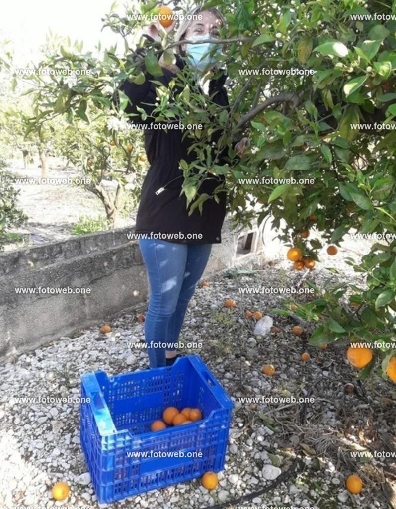medium_Sina beim Orange Ernten 25_03_2021 | In der #Corona-zeit, auch bei der #Orangenernte, nur mit #Maske