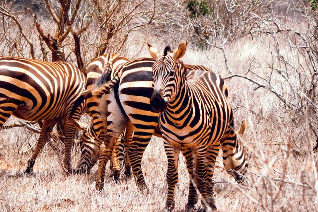 Zebra   Von der roten Erde gefärbte Zebras im Tsavo East Nationalpark in Kenia