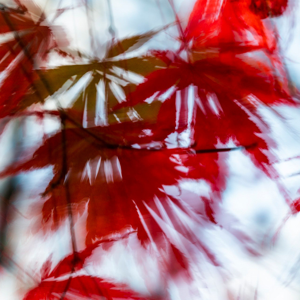 Pflanzen abstrakt   Triptychon Hamadryas 2   Best. Nr. d_2020_10_1977-q   Abstrakte ICM Fotografie, Laub eines japanischen Ahorns