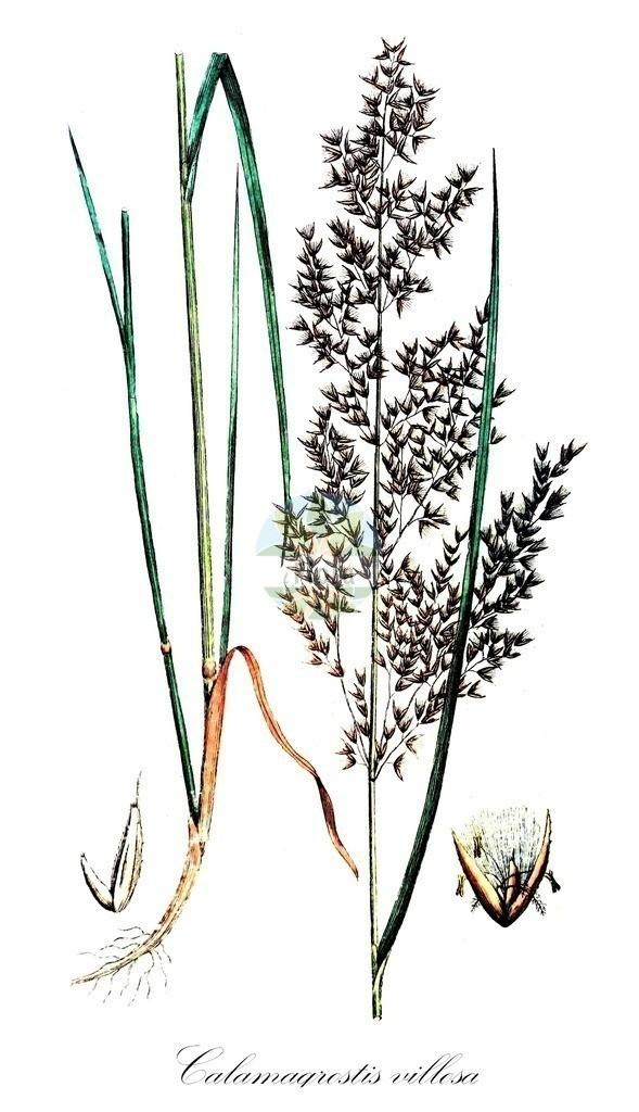 Historical drawing of Calamagrostis villosa (Hairy Small-reed) | Historical drawing of Calamagrostis villosa (Hairy Small-reed) showing leaf, flower, fruit, seed