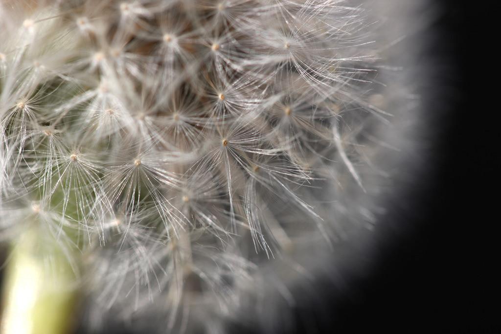 Blumenwiese | Blumenwiese mit Loewenzahn als Pusteblume, Taraxacum sect. Ruderalia.