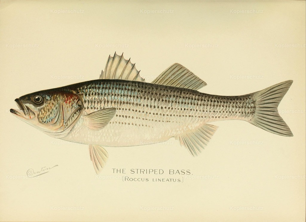 Denton_ S.F. (1856-1907) - Commissioners of Fisheries NY 1899 - Striped Bass
