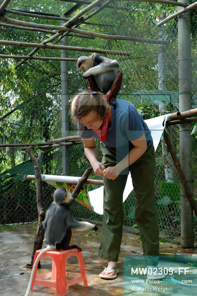 MW02309-FF | Vietnam | Provinz Ninh Binh | Reportage: Endangered Primate Rescue Center | Tierpflegerin spielt im Käfig mit Rotschenkligen Kleideraffen. Der Deutsche Tilo Nadler leitet das Rettungszentrum für gefährdete Primaten im Cuc-Phuong-Nationalpark.   ** Feindaten bitte anfragen bei Mario Weigt Photography, info@asia-stories.com **